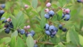 blueberries, blueberry, fruit 33108669