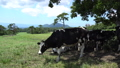 cow, cattle, cows 33108678