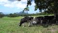 วัว,ประเทศญี่ปุ่น,นมเนย 33108680