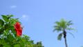ต้นพู่ระหง,ดอกไม้,ไม้ 33108681