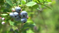 blueberries, blueberry, fruit 33108686