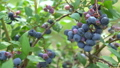 blueberries, blueberry, fruit 33108687