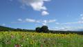 sunflower field, flower garden, flower field 33108691