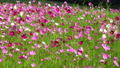 식물, 꽃, 코스모스 33123403