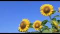 sunflower, sunflowers, vegetation 33132801