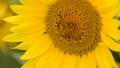 蜜蜂 向日葵 蜂の動画 33138837