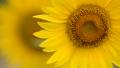 蜜蜂 向日葵 蜂の動画 33138838