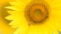 蜜蜂 向日葵 蜂の動画 33138839