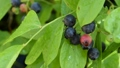 blueberries, blueberry, fruit 33214886