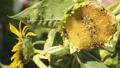 Sunflower eaten by birds on the field 33223730