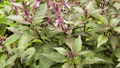 Bush basil purple growing in the garden 33223735