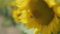 夏 はなばち ハチの動画 33233215