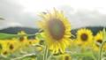 ひまわり 向日葵 ヒマワリの動画 33236357