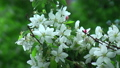 Blossoming white apple tree 33273211
