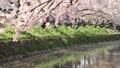 4月 川面の散り桜-岩倉五条川(愛知県)- 33292166