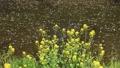 4月 岩倉五条川の散り桜(愛知県) 33292167