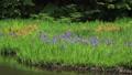5月 湖北の平池(ひらいけ) -カキツバタの群生地- 33321526