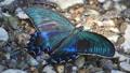 中国孔雀 蝴蝶 虫子 33352415