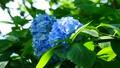 紫陽花 アジサイ ホンアジサイの動画 33366375