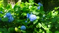 紫陽花 アジサイ ホンアジサイの動画 33366378