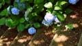 紫陽花 アジサイ ホンアジサイの動画 33366380