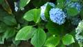 紫陽花 アジサイ ホンアジサイの動画 33366381