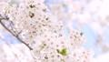 ソメイヨシノ(フィクス撮影) 33370156