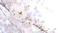 ソメイヨシノ(パン) 33370159