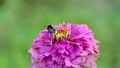 Bumblebee collects honey on a of zinnia flower 33398231