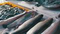 ปลา,อาหาร,อาหารทะเล 33406333