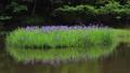 5月 湖北の平池(ひらいけ) -カキツバタの群生地- 33471914