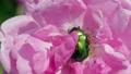 Green Beetle Cetonia Aurata On The Rose Macro Shot 33492461