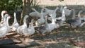 geese graze in a meadow 33567977