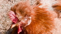 Red-haired chicken close-up on the grass 33567995