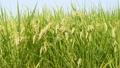 rice, paddy, plant 33706926