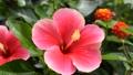 ต้นพู่ระหง,ฤดูร้อน,หน้าร้อน 33811662
