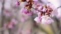 桜 (フィクス撮影) 33823918