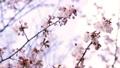 桜 (フィクス撮影) 33824726