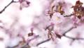 桜 (フィクス撮影) 33846586