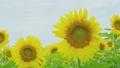 風に揺れる向日葵の花と葉 33878439