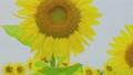 風に揺れる向日葵の花と葉 33878440