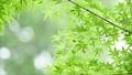葉 新緑 若葉の動画 33886354