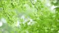 葉 新緑 若葉の動画 33886358