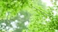 葉 新緑 若葉の動画 33886375