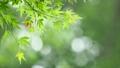 葉 新緑 若葉の動画 33901927