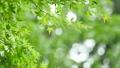 葉 新緑 若葉の動画 33901928