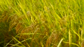 Autumn rice field with golden leaves, golden color, Japan 33904315