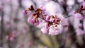 桜 (フィクス撮影) 33904531