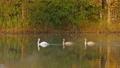 Family of white swans swims along autumn lake 33937362