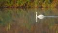 Family of white swans swims along autumn lake 33937363